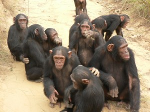 Chimps Peer Pressure Experiment