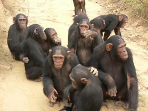 Chimps Peer Pressure Experiment